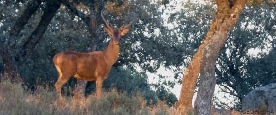 ciervos berrean