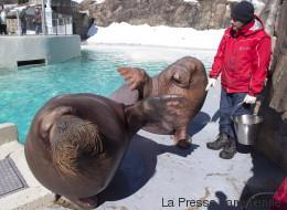 Un premier bébé morse nait à l'Aquarium du Québec