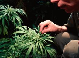 Cannabis-Politik im Wandel: Vernunft setzt sich durch