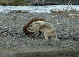 Ce bébé bison remporte son combat contre un loup (VIDÉO)