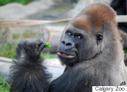 Calgary Zoo Gorilla Dies From A Literal Broken Heart