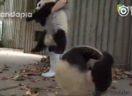 Même s'ils sont intenables, impossible d'en vouloir à ces petits pandas (VIDÉO)