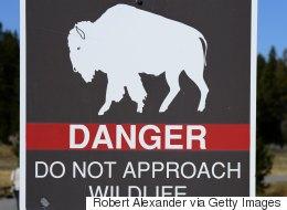Un bébé bison a dû être euthanasié après son transport par un touriste québécois