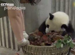Nadie te lo pone tan difícil en un trabajo como un oso panda