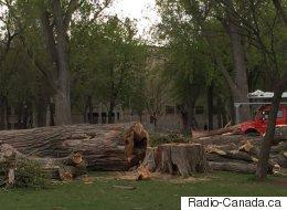 Des peupliers centenaires disparaissent du parc La Fontaine