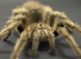 Des araignées sèment la panique dans un avion d'Air Transat