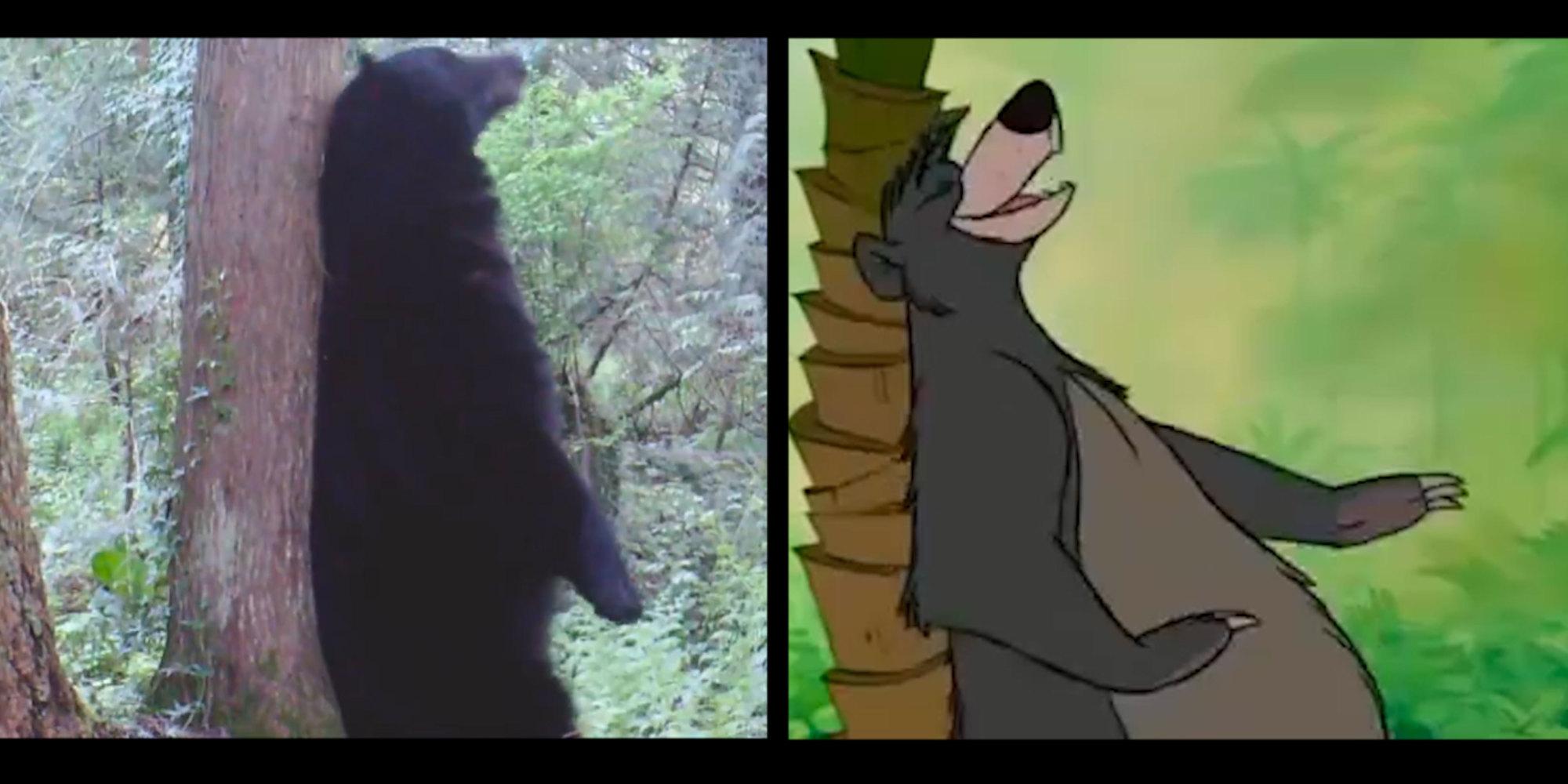 Ces ours se prennent pour baloo vid o for Koi qui se gratte