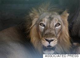Il entre nu dans l'enclos des lions pour se suicider