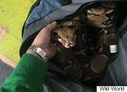 Anonymous Tip Leads To Duffel Bag With Boa Constrictor Inside
