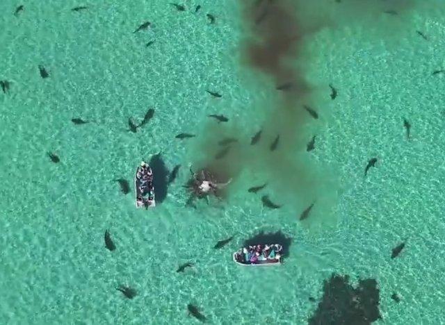 des dizaines de requins d vorent une baleine sous l 39 oeil d 39 un drone. Black Bedroom Furniture Sets. Home Design Ideas