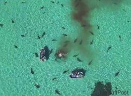 Des dizaines de requins dévorent une baleine sous l'oeil d'un drone (VIDÉO)