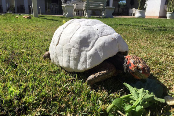 tortue carapace