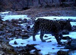 Des images d'un jeune Amur, le léopard le plus menacé au monde