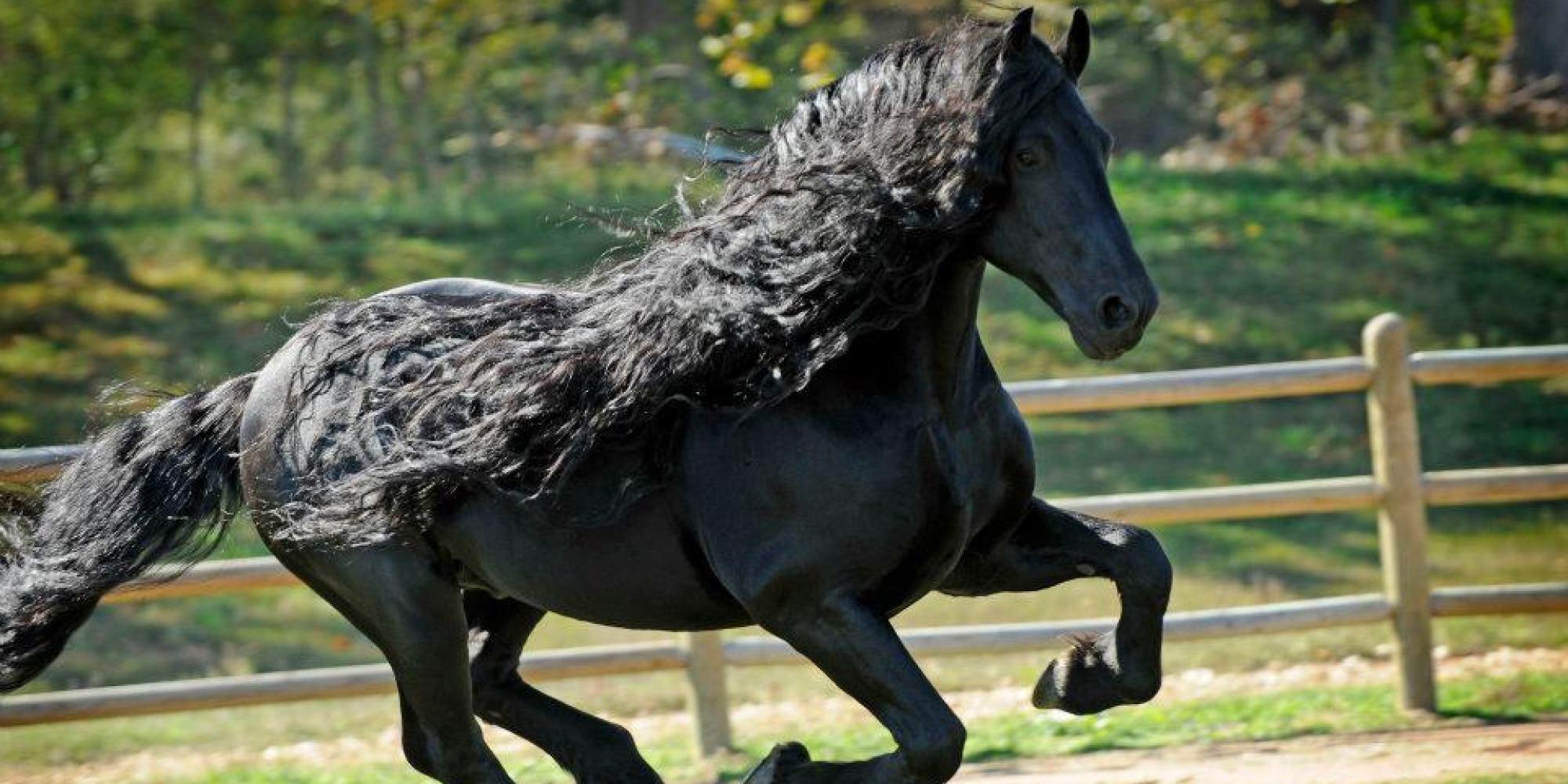 ce cheval a s rement la plus belle crini re du monde images. Black Bedroom Furniture Sets. Home Design Ideas