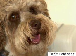 Nouveau Brunswick : De plus en plus de chiens drogués à la marijuana