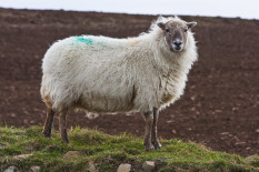File image of a Welsh sheep | Pic: Getty Images