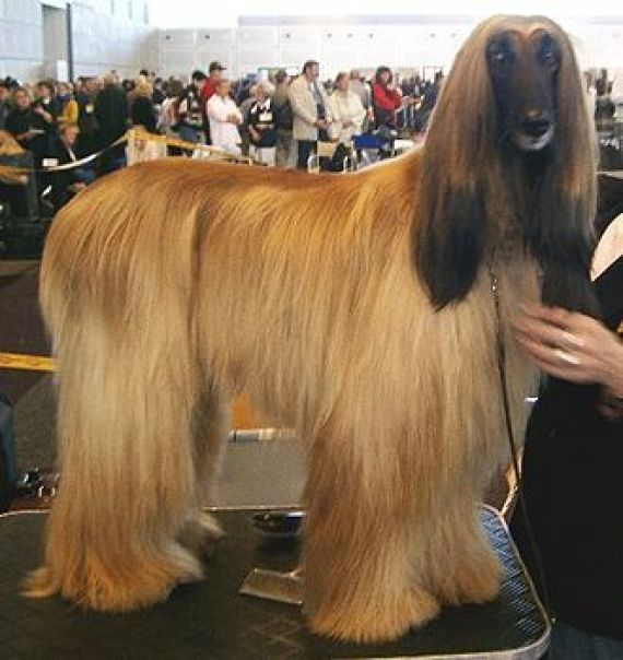 aghan dog
