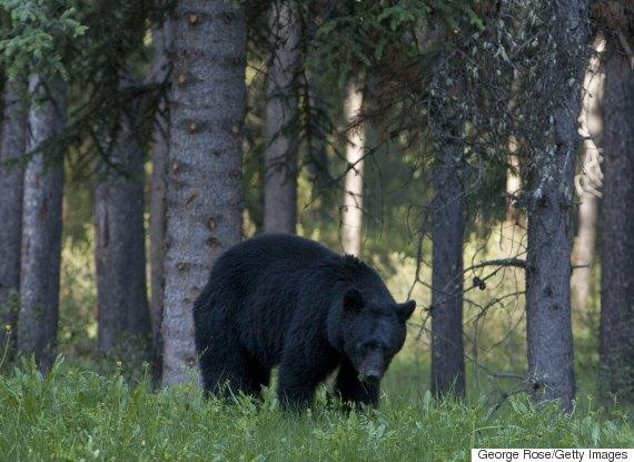 black bear alberta