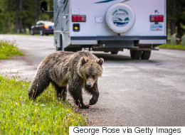 Grizzly Bears Breaking Into Cabins Prompt Alberta Warnings