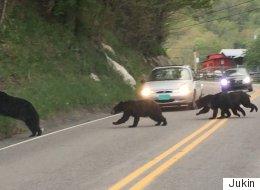 La circulation perturbée par....une famille d'ours! (VIDÉO)