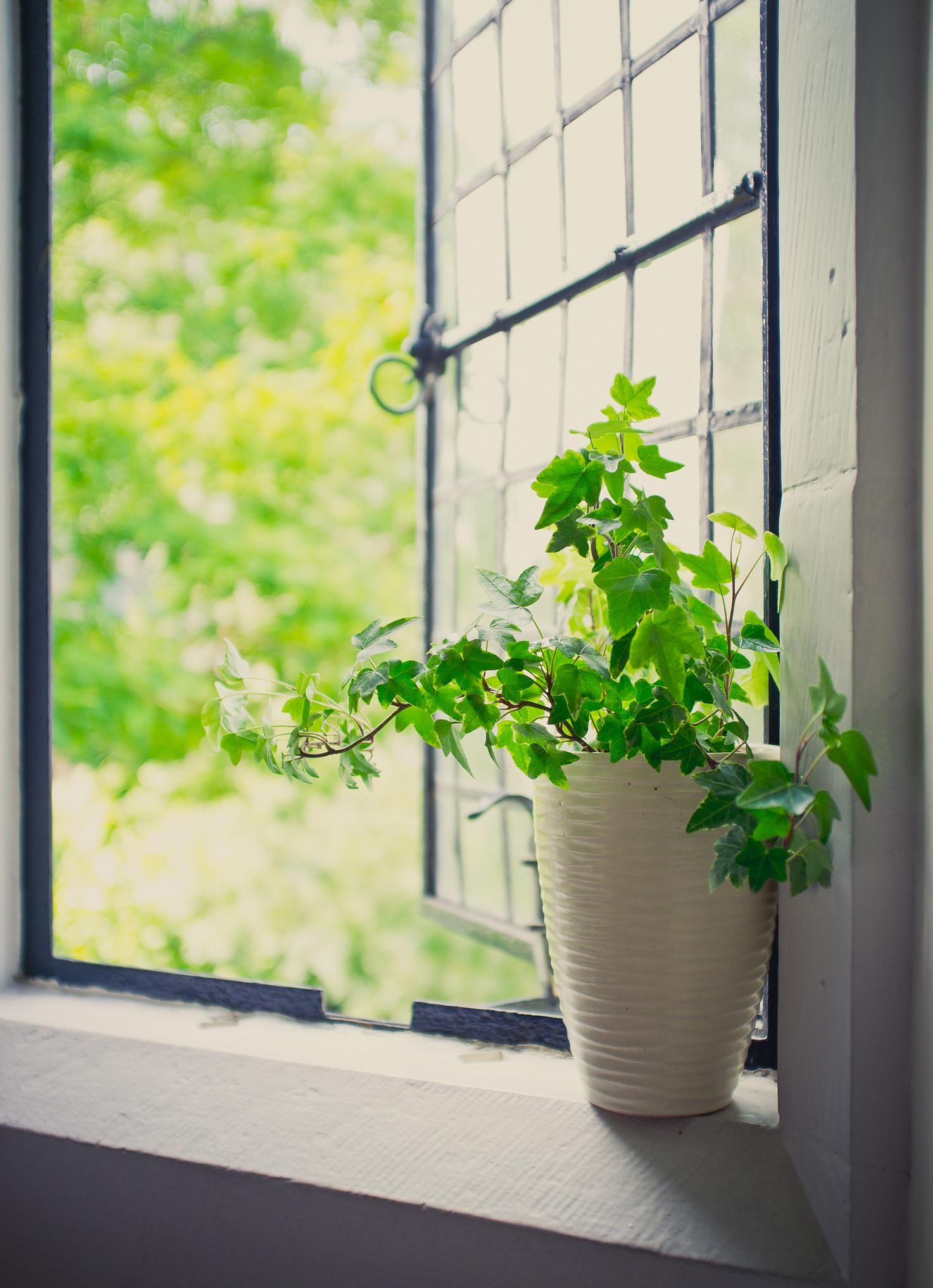ivy indoor