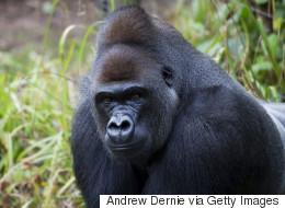 Un zoo tue son gorille après la chute d'un enfant dans l'enclos