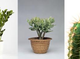Ces plantes d'intérieur robustes que vous pouvez offrir