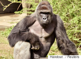 Harambe The Gorilla Was Aggressive, Not Protective Of Child: Expert