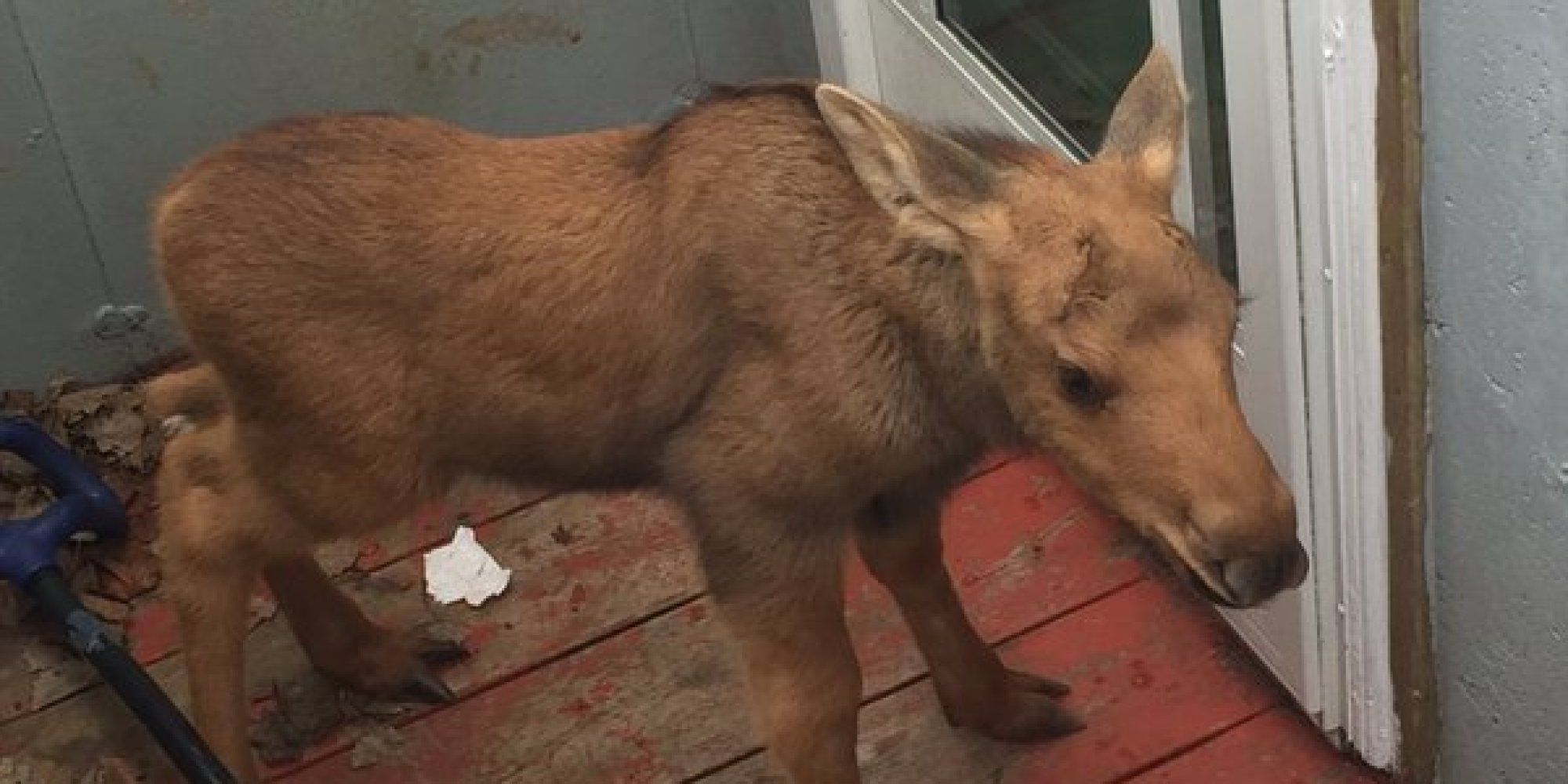 Newfoundland Police Find Baby Moose Trapped In St. John's ...