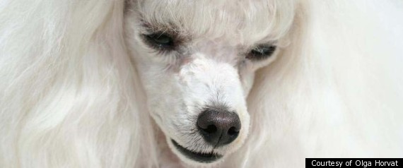 Possessed Poodle