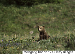 Sauvetage d'un bébé grizzly perché sur un poteau électrique (VIDÉO)