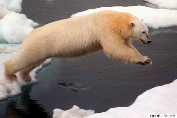 polar bear sea
