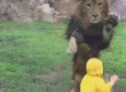 Ce lion croyait pouvoir sauter sur cet enfant... et PAF, la vitre! (VIDÉO)