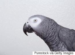 Des parents sont convaincus qu'un perroquet a assisté au meurtre de leur fils
