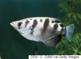 Un poisson qui a l'oeil: il reconnaît les visages