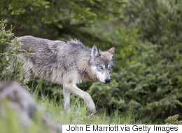 Wolf Killed After Encounter With Campers In Banff National Park