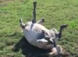 Ce poney joue à faire le mort et les internautes adorent!