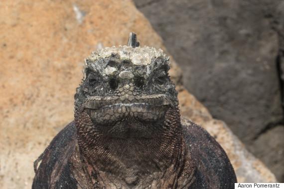 This Rare Marine Iguana Fires Snot Rockets When It Sneezes