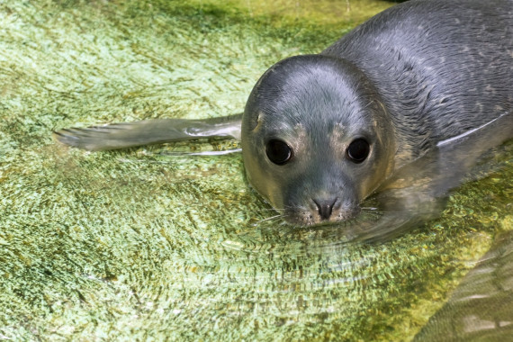 harbour seal baby