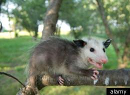 PETA Says No More New Years Opossum Drop