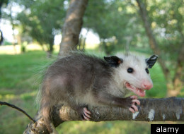 PETA Says No More New Years Opossum Drop