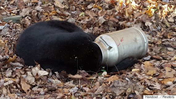 bear drinking
