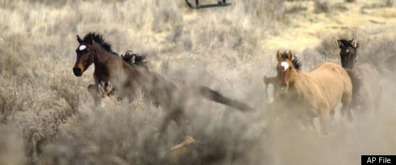 NEVADA HORSE CASTRATION