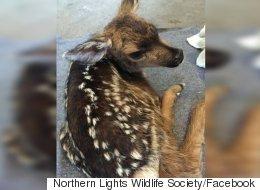 Emergency C-Section On B.C. Highway Saves Baby Deer