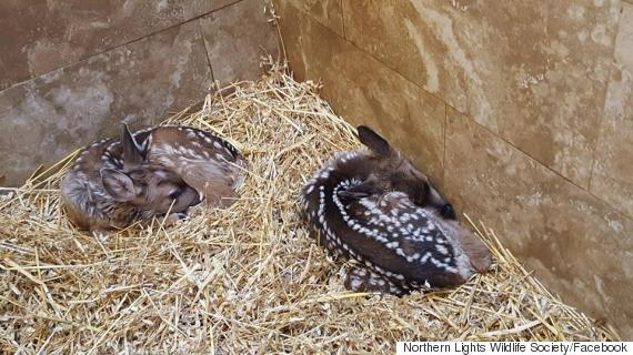northern lights wildlife society fawns