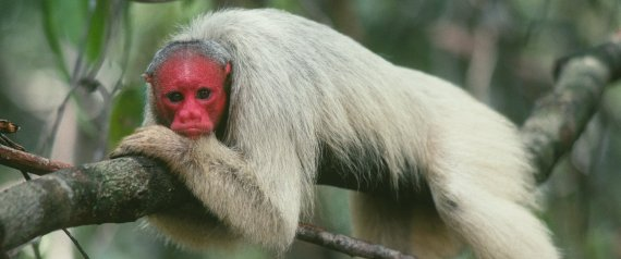 A BALD UAKARI MONKEY