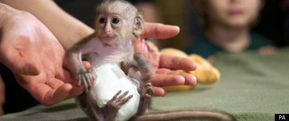 Cute Baby Monkeys in Diapers Baby Monkey in Diaper Cute