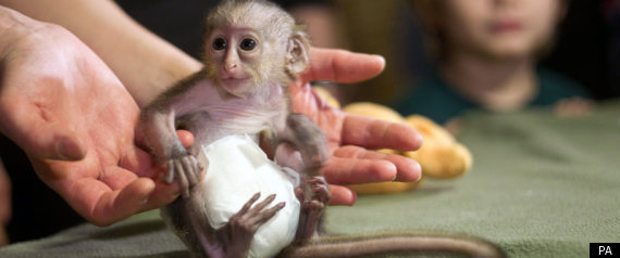 Monkey In A Nappy