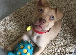 Pitbulls et SPCA: «Ce n'est pas qu'une question animale, c'est aussi une question humaine» (VIDÉO)