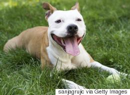 Règlement sur les pitbulls: les juges prennent la cause en délibéré